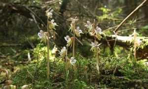 Ghost Orchids, Epipogium aphyllum, seen in Germany