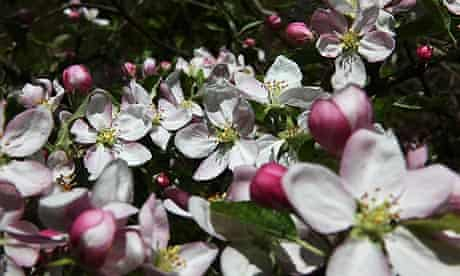 Orchard blossom, flowers on an apple tree in Hoxne, Suffolk