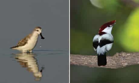 Missing biodiversity targets : Araripe Manakin Antilophia bokermanni and Spoon-billed Sandpiper