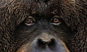 Barometer of life : Orangutan