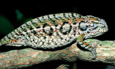 Global Climate Change Driving Lizards to Extinction