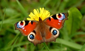 """Wildlife quiz : Peacock Butterfly"""