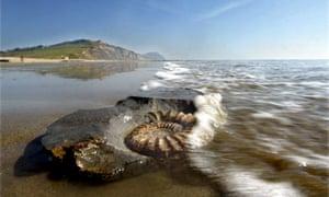 """Wildlife quiz :  Ammonite Fossil On The Beach At Charmouth Beach, Dorset"""