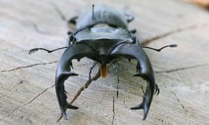 """Wildlife quiz : Stag Beetle"""