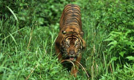 Poaching tigers : Sumatran Tiger in Tall Grass