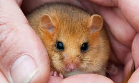 Biodiversity in focus : endangered hazel dormice