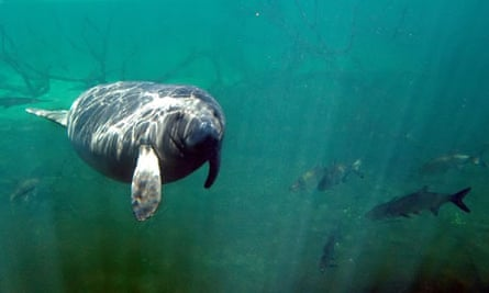 A Manatee swims in the 72-degree water at Blue Springs State Park in Orange City