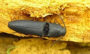 Name a Species : Megapenthes lugens