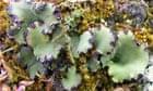 Name a species:  Peltigera venosa