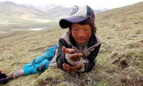 Caterpillar Fungus harvest around quake devasted Yushu, on Tibetan plateau, Qinghai, China