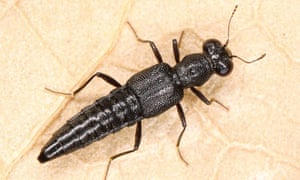 name a species : Stenus longitarsis