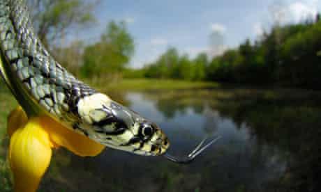 Snakes population : The Grass Snake, Natrix natrix