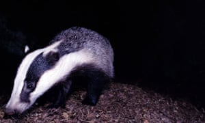 A badger, Meles Meles, sniffing the ground at night