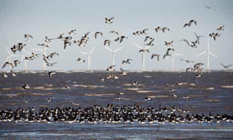 Flocks of oystercatchers flying and feeding on the ebb tide on the sands at Hoylake, Wirral