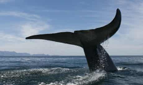 whale phytoplankton