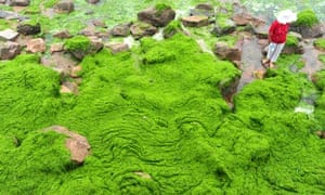 a beach covered by blue-green algae in Qingdao city, eastern province of  Shandong, China