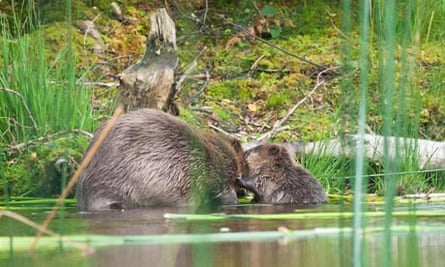 Success for Scottish Beaver Trial: The first beaver kits to be born in the wild
