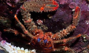 Natura 2000 network new Marine Protected Areas: squat lobster