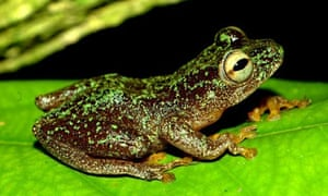 Omaniundu reed frog that had been feared to have become extinct