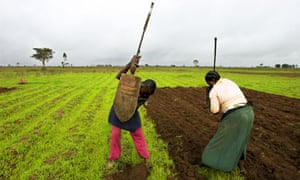 MDG : Agriculture : Farmers tend to a field of corn near Yelwa, Nigeria
