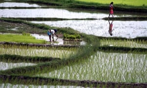 MDG Agriculture : Nepalese women work at a paddy field, Nepal