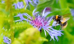 Biodiversity 100 : A bumble bee prepares to land on a plant in Boroughbridge