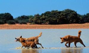 Biodiversity 100: dingos in Australia