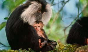 Biodiversity 100 : India : Lion-Tailed Macaque Mother and Infant