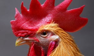 Rooster that has been genetically-modified to prevent the spread of bird flu