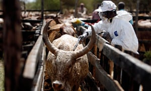 MDG : Kenya : veterinarian vaccinates cows against Rift Valley Fever