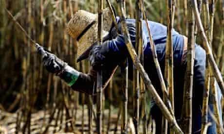 Guardian green blog festival : Sugar Cane Harvesed for biofuel Brazil
