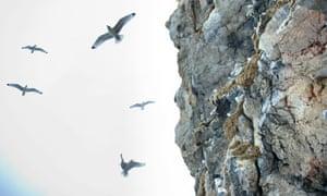 Black Legged Kittiwakes nest