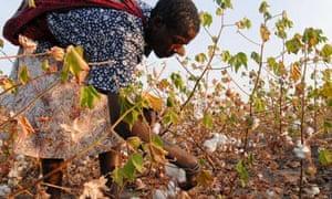 Tanzania , woman harvest organic and fairtrade cotton in Meatu district