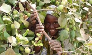 MDG : Sahel and drought resistant tree planting : pomme du sahel