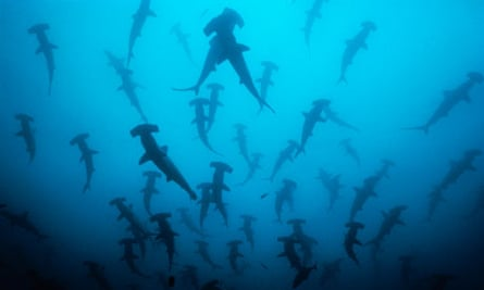 School of scalloped hammerhead sharks hunted for their fins