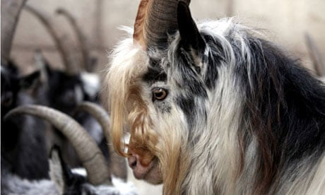 Northumberlands Neolithic Goats Brought Into Modern World Science