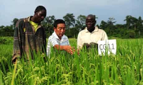 Chinese expert introduces the characteristics of rice varieties from China , Divo, Ivory Coat