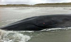 Whale stranded in Western Isles dies
