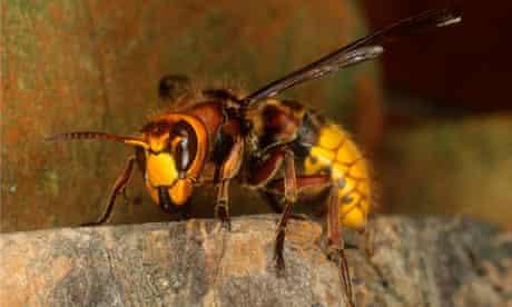 A queen wasp, European Hornet (Vespa crabo)