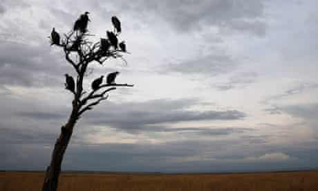 MDG : Vulture funds : Vultures sit in a tree in the Masai Mara game reserve