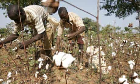 MDG : WTO Doha Development Round failure : Ivorian farmers handpicks cotton