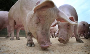 Supermarket Food waste can beused to feed pigs