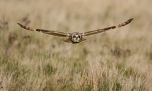 Country Diary : Short-Eared Owl in Flight Hunting