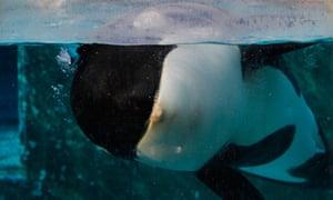 Orca Morgan swims in her tank at the Dolfinarium in Harderwijk, Netherlands