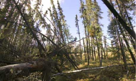 Hacked climate emails : Drunken forests caused as the permafrost melts as a result of global warming