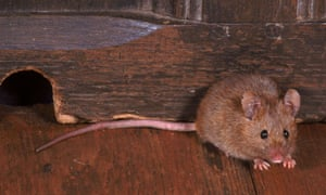 Country Diary :  House Mouse