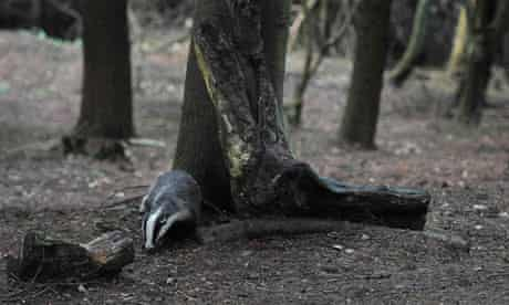 Country Diary : A badger walks through woodland near Pickering