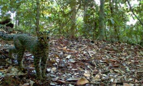 A Marbled Cat captured using camera traps in Bukit Tigapuluh in Indonesia