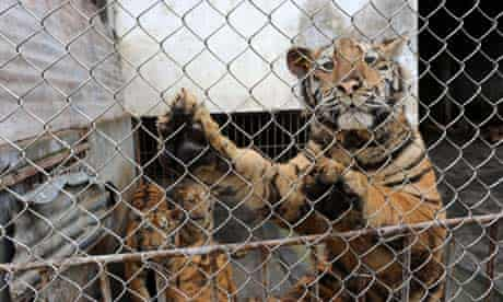Xiongsen Bear and tiger park breeds tigers for Tiger Bone Wine, Guilin, China