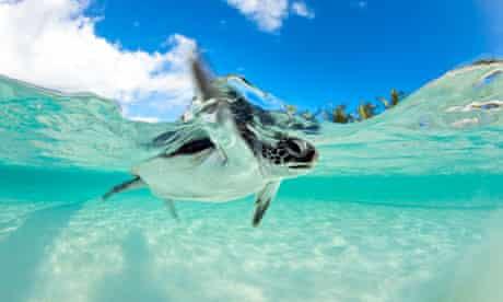 Endangered Baby Green Sea Turtle